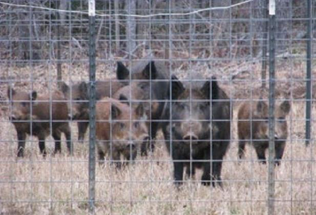 Feral hogs have become the number one complaint of deer and turkey hunters across the southern U.S. when the hogs move in the deer move out and the turkey population declines rapidly. Submitted Photo